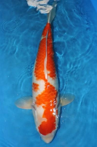 Kohaku ca. 57 cm Sansai Female bis 1.Mai kostenlos reservierbar