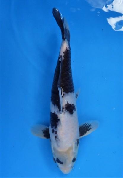 Shiro Utsuri ca. 35 cm