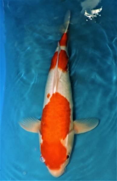 Kohaku ca. 54 cm Nisai Female bis 1.Mai kostenlos reservierbar