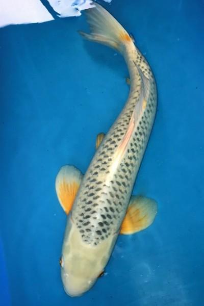 Asagi ca. 62 cm Sansai Female bis 1. Mai kostenfrei reservierbar