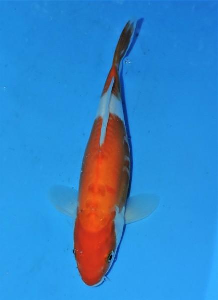 Doitsu Kohaku ca. 30 cm