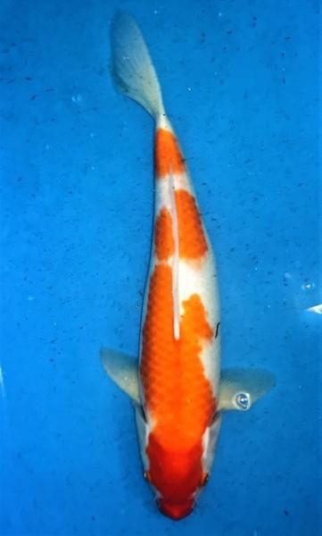 Kohaku ca. 45 cm Nisai Female bis 1.Mai kostenlos reservierbar