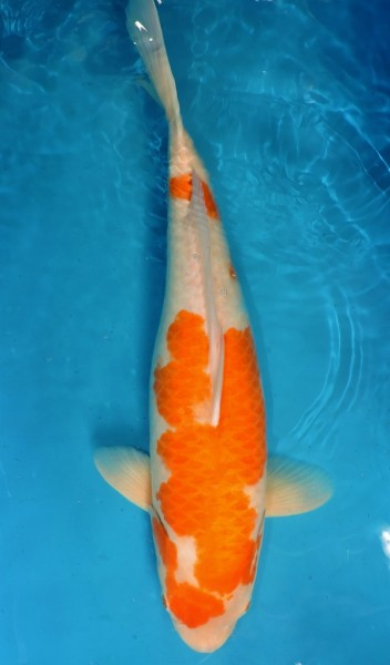 Kohaku ca. 60 cm Sansai Female bis 1.Mai kostenlos reservierbar