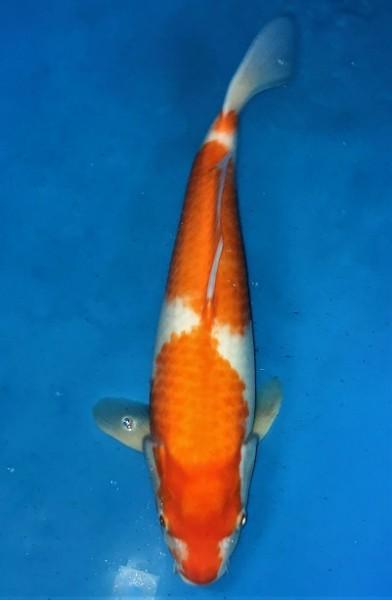Kohaku ca. 46 cm Nisai Female