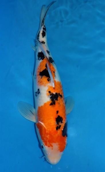 Sanke ca. 50 cm Nisai Female