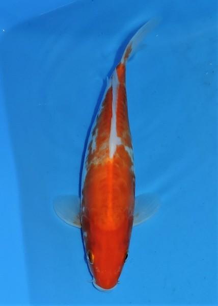 Doitsu Koi 25 cm