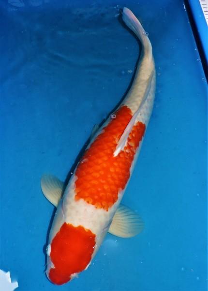 Kohaku ca. 70 cm Yonsai Female bis 1.Mai kostenlos reservierbar