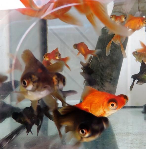 Red Moor 7-10 cm