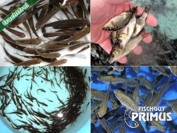 """Naturteich - Paket """"EXTRA"""" mit 50 Besatzfischen"""
