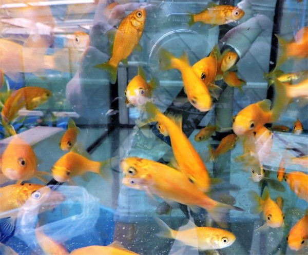 Goldfisch gelb ca. 4-7 cm
