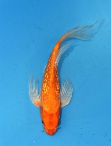 Butterfly Koi Ginrin ca. 25 cm