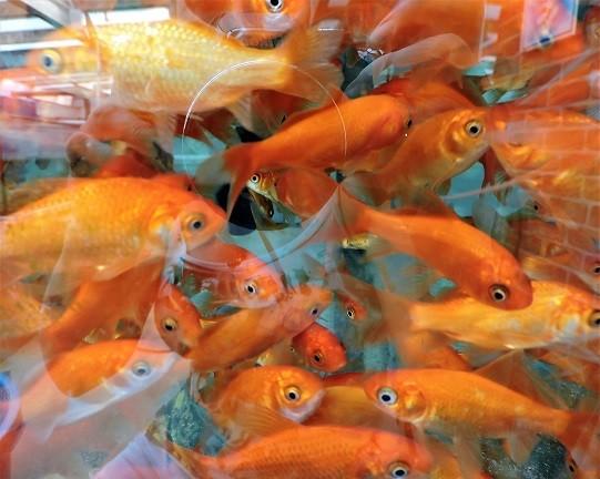 Goldfisch rot ca. 7-10cm