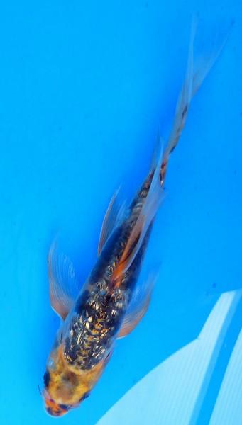 Butterfly Koi Doitsu gin rin ca. 24 cm