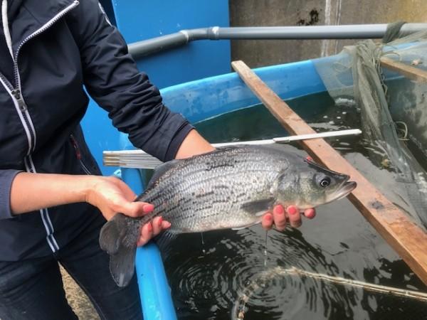 Striped Bass / Streifenbarsche ca. 50 cm