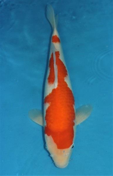 Kohaku ca. 47 cm Sansai Female
