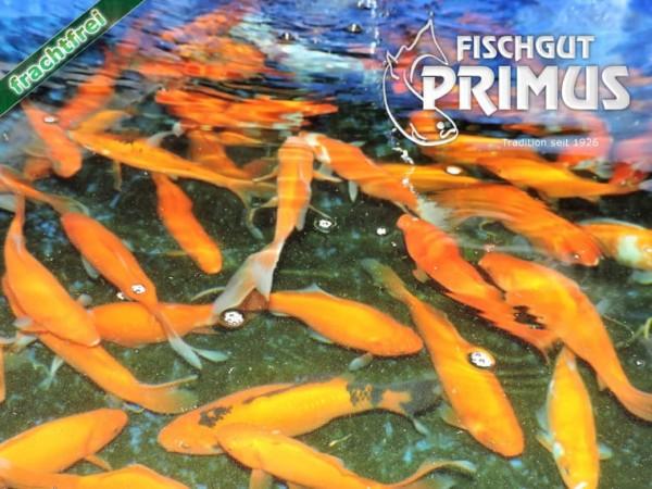Laichgoldfische 4 St. ca. 20 cm