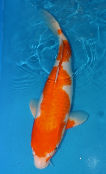 Kohaku ca. 50 cm Sansai Female bis 1.Mai kostenlos reservierbar