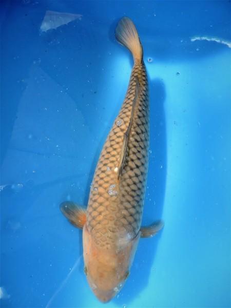 Chagoi 50 cm