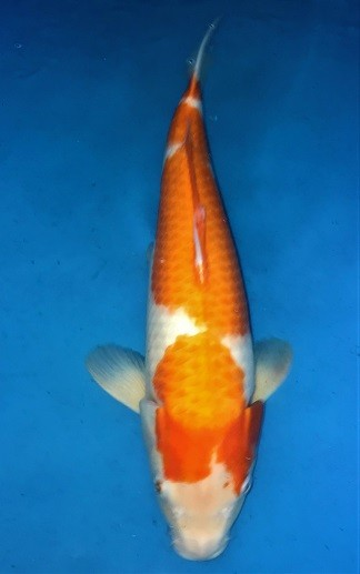 Kohaku ca. 48 cm Nisai Female