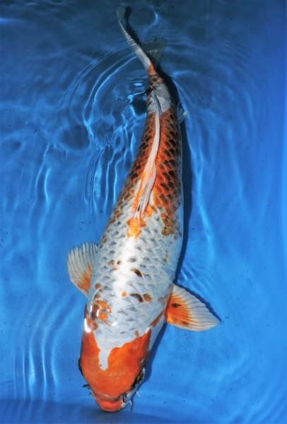 Kujaku ca. 50 cm Sansai Female bis 1.Mai kostenlos reservierbar