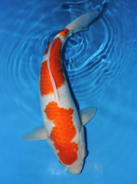 Kohaku ca. 44 cm Sansai Female