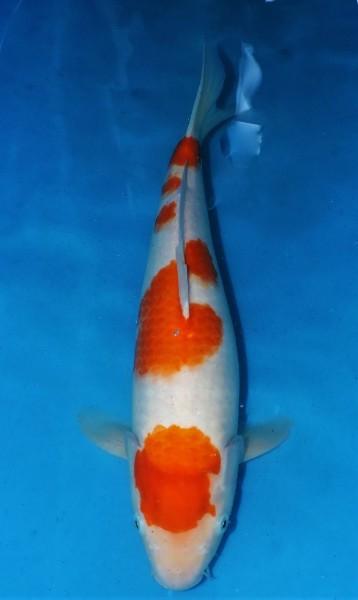Kohaku ca. 46 cm Sansai Female
